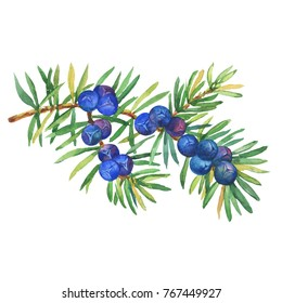 Branch of Juniper plant (Juniperus communis) with berries and leaves. Watercolor hand drawn painting illustration isolated on white background.