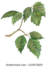 Branch with leaves of room grapes, watercolor hand painted illustration  isolated on white background