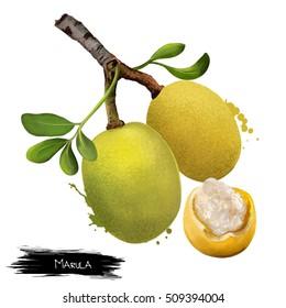 Branch of marula fruit with leaves isolated. Sclerocarya birrea medium tree. Jelly plum, cat thorn, morula, cider tree, marula, maroola nut plum, Maroela. Digital art illustration. Plant and fruit