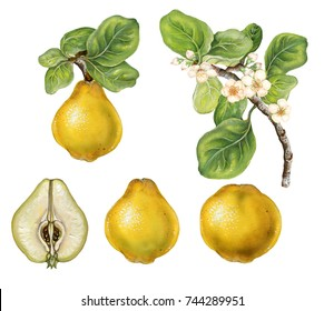 a branch of quince (cytonia) with fruits, flowers and leaves. Watercolor botanic illustration on white