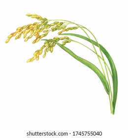 Branch of the rice plant with leaves and grains (Oryza sativa, Asian rice). Watercolor hand drawn painting illustration isolated on a white background.