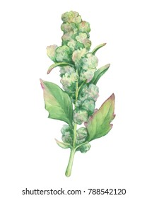 Branch of ripe green Chenopodium quinoa (Quechua kinwa) with seeds and leaves, superfood healthy plant. Watercolor hand drawn painting illustration isolated on a white background