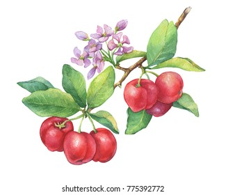 Branch of ripe red Acerola thai cherry tropical fruit (Barbados cherry, Malpighia glabra) with berries, flowers. Watercolor hand drawn painting illustration isolated on white background.