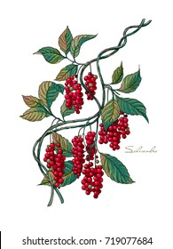 The branch of Schisandra of China with berries. Medicinal Herbs. Plant on isolated background.
