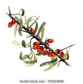 Branch of sea buckthorn berries, watercolor sketch, isolated