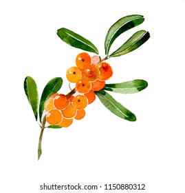 Branch of sea-buckthorn. Hand drawn watercolor ilustration isolated on white background
