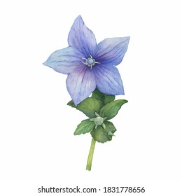 Branch with violet flower of ballon blume (Platycodon, balloon flower, Chinese bellflower, bluebells, Campanula). Watercolor hand drawn painting illustration isolated on white background.