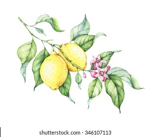 Branch of watercolor fresh lemon tree with green leaves, yellow lemons and pink flowers. Hand drawn watercolor illustration isolated on white.