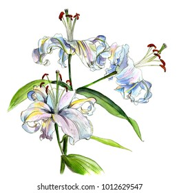 Branch of white lilies,  watercolor sketch,  isolated on white background