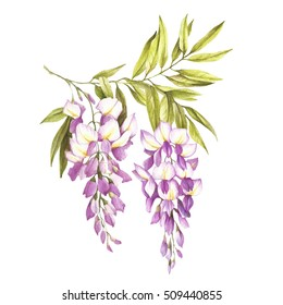 Branch of wisteria. Hand draw watercolor illustration.