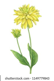 Branch with yellow flower of garden plant rudbeckia laciniata (also known as cutleaf coneflower, green-headed, susan). Watercolor hand drawn painting illustration isolated on a white background.