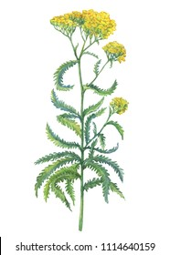 Branch with yellow flowers of wild plant Achillea (also known as sweet yarrow, field hops, English mace or fernleaf yarrow). Watercolor hand drawn painting illustration isolated on a white background.
