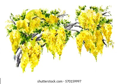 The branch yellow wisteria. Hand drawn watercolor illustration
