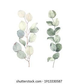 Branches eucalyptus, watercolor isolated illustration on white background for your decor or print.