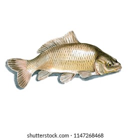 Bream fish watercolor illustration on white background