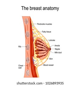 Breast anatomy. Cross-section of the mammary gland. diagram for medical use