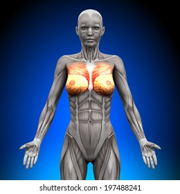 Breasts, Chest, Pectoralis Major and Minor - Female Anatomy Muscles