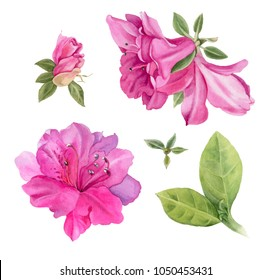 Bright pink azaleas. Watercolor  flowers and leaves  isolated on a white background. Hand-drawn illustration.