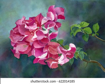 Bright Pink Bougainvillea with dark background. Watercolor painting of  \\ Tropical flowers on a branch