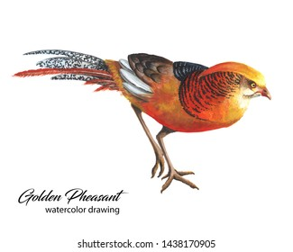 Bright red and orange chinese pheasant watercolor sketch