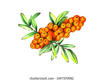 Bright watercolor drawing orange sea buckthorn berry. Hand drawn illustration of natural, healthy, vitamin and vegetarian products