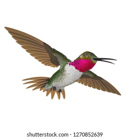 Broad Tailed Hummingbird Flying Pose 3D Illustration Isolated