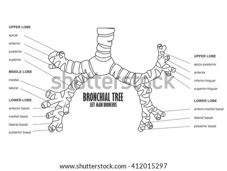 Bronchial Tree Left Main Bronchus Human Stock Illustration 412015297 ...