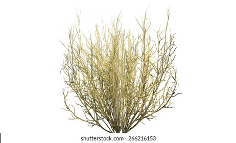 Broom Snake Weed fall - isolated on white background