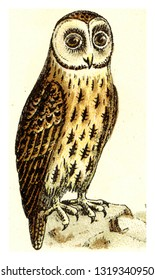 Brown owl, vintage engraved illustration. From Deutch Birds of Europe Atlas.
