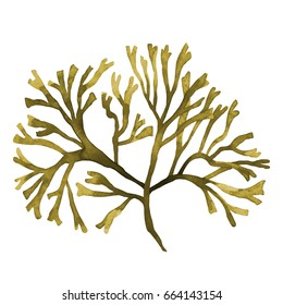 Brown Seaweed ,Kelp, Algae in the ocean watercolor hand painted element isolated on white background. Watercolor brown seaweed illustration design. With clipping path.
