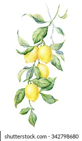 Brunch of Lemon. Watercolor botanical illustration. Beautiful hand drawn texture. Romantic background for web pages, wedding invitations, textile, wallpaper.