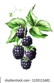 Brunch with ripe blackberries and green leaves. Watercolor hand drawn illustration, isolated on white background