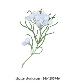 Brunia blooming flowers or inflorescences isolated on white background. Elegant detailed botanical drawing of beautiful flowering plant or shrub. Hand drawn floral realistic illustration