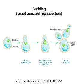 Budding. asexual reproduction of yeast cell. Cross section of a Fungal hyphae cells (septum; bud scar, vacuole). diagram for educational, biological, and science use