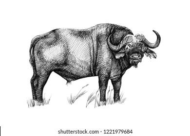 Buffalo hand drawn illustrations (originals, no tracing)