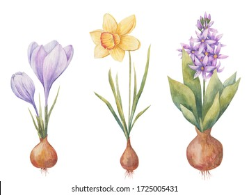 bulbous plants in the spring, Hyacinth, crocus and daffodil on a white background