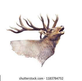 Bull Elk portrait watercolor on white background