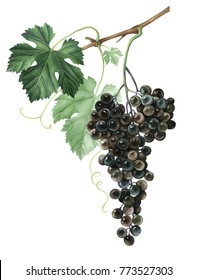 Bunch of black grapes isolated on white background. Hand drawn watercolor illustration.