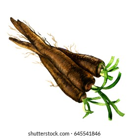 Bunch of fresh raw organic black salsify, root, isolated, watercolor illustration on white