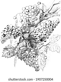 Bunch of grapes. Black and white stylized image of grapes, drawing with ink and pencils.