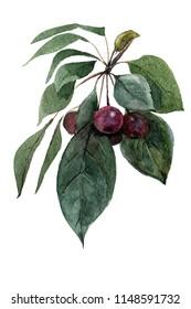 Bunch malus floribunda with apples.