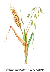 Bunch of wheat and oats, watercolor drawing on white background, isolated.