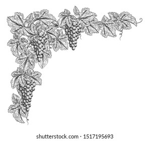 Bunches of grapes on a grape vine with leaves. Corner or border design element in a vintage woodcut etching style