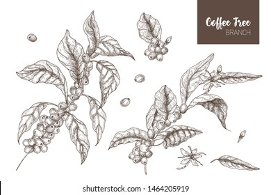Bundle of elegant botanical drawings of coffea or coffee tree branches with leaves, flowers and ripe fruits isolated on white background. Monochrome illustration hand drawn in etching style.
