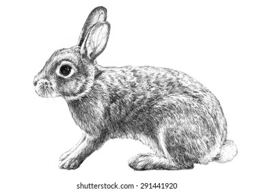 A bunny rabbit illustration of a cute common animal that has long ears and is a symbol of Easter and spring in a hand drawn pencil sketch on white.