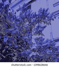 Bush blooming lilac on the background of the house in blue, gray and black shades.