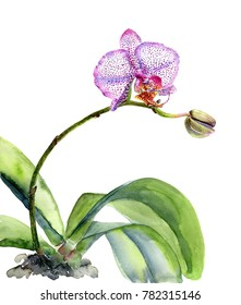 Bush Orchid  Phalaenopsis on white background,  watercolor illustration