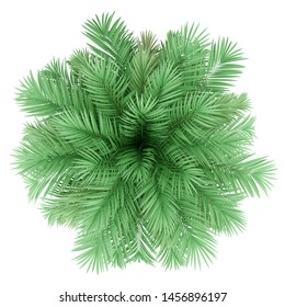 butia palm tree isolated on white background. top view. 3d illustration