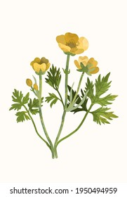 Buttercup flower with a green stem and yellow petals