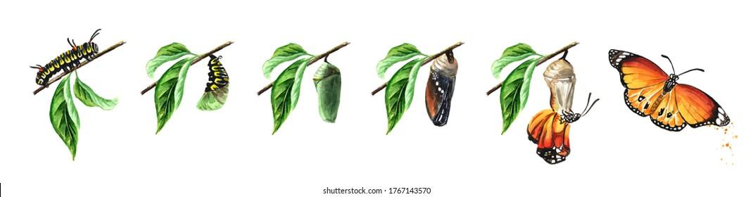 Stades de développement de la métamorphose des papillons, larve de chenille, papy, ensemble d'insectes adultes. Illustration à l'aquarelle dessinée à la main isolée sur fond blanc